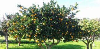 Cómo es el naranjo