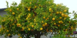 cómo es el árbol limonero frutal