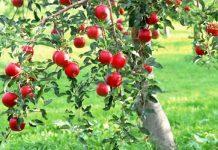 el manzano y su fruto