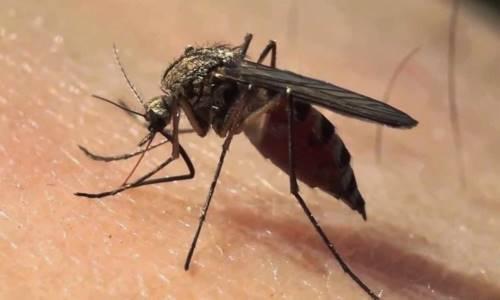 mosquito fiebre hemorrágica viral