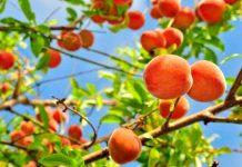 como es el arbol melocotonero y su fruto