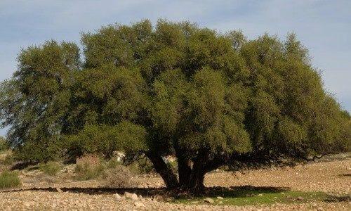 fotografía de árbol de argán