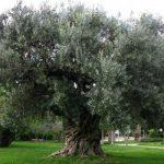 cómo es el arbol olivo