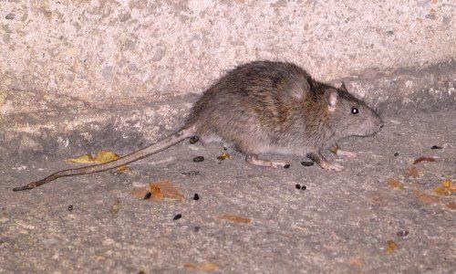 excremento roedor fiebre hemorrágica viral