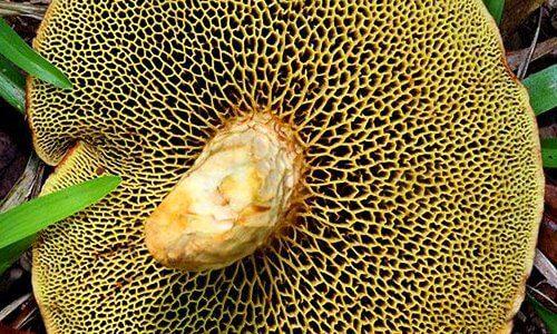 planta-tripofobia